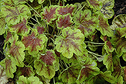 Solar Eclipse Foamy Bells (Heucherella 'Solar Eclipse') at Make It Green Garden Centre