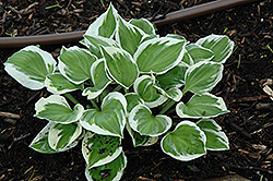 Diamonds Are Forever Hosta (Hosta 'Diamonds Are Forever') at Make It Green Garden Centre