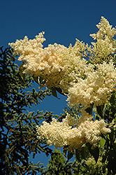 Golden Eclipse Japanese Tree Lilac (Syringa reticulata 'Golden Eclipse') at Make It Green Garden Centre