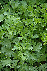 Italian Parsley (Petroselinum crispum 'var. neapolitanum') at Make It Green Garden Centre