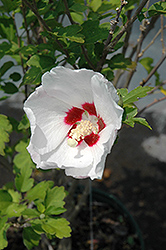 Red Heart Rose Of Sharon (Hibiscus syriacus 'Red Heart') at Make It Green Garden Centre