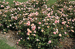 Apricot Drift® Rose (Rosa 'Meimirrote') at Make It Green Garden Centre