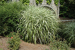 Cabaret Maiden Grass (Miscanthus sinensis 'Cabaret') at Make It Green Garden Centre