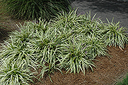 Variegata Lily Turf (Liriope muscari 'Variegata') at Make It Green Garden Centre