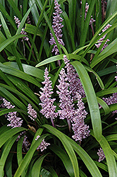 Lily Turf (Liriope muscari) at Make It Green Garden Centre