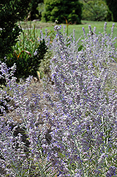 Lacey Blue Russian Sage (Perovskia atriplicifolia 'Lacey Blue') at Make It Green Garden Centre