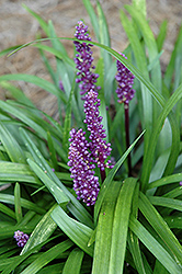 Royal Purple Lily Turf (Liriope muscari 'Royal Purple') at Make It Green Garden Centre