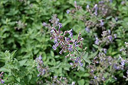 Junior Walker Catmint (Nepeta x faassenii 'Novanepjun') at Make It Green Garden Centre