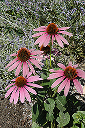 Prairie Splendor Coneflower (Echinacea purpurea 'Prairie Splendor') at Make It Green Garden Centre