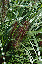 Red Head Fountain Grass (Pennisetum alopecuroides 'Red Head') at Make It Green Garden Centre