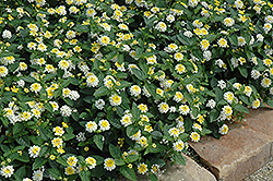 Lucky™ Lemon Glow Lantana (Lantana camara 'Lucky Lemon Glow') at Make It Green Garden Centre