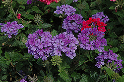 EnduraScape™ Purple Verbena (Verbena 'Balendurp') at Make It Green Garden Centre