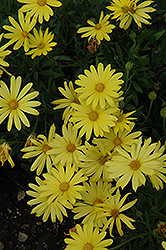 Voltage™ Yellow African Daisy (Osteospermum 'Voltage Yellow') at Make It Green Garden Centre