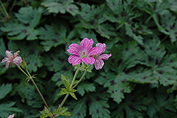 Miss Heidi Cranesbill (Geranium x oxonianum 'Miss Heidi') at Make It Green Garden Centre
