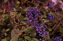Lo And Behold® Blue Chip Junior Dwarf Butterfly Bush (Buddleia 'Lo And Behold Blue Chip Junior') at Make It Green Garden Centre
