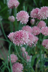 Forescate Chives (Allium schoenoprasum 'Forescate') at Make It Green Garden Centre