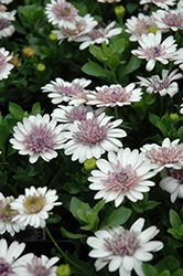 3D Silver African Daisy (Osteospermum '3D Silver') at Make It Green Garden Centre