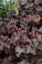 Melting Fire Coral Bells (Heuchera 'Melting Fire') at Make It Green Garden Centre