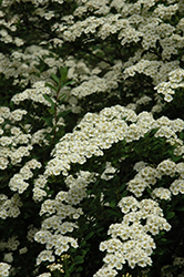Snowmound Spirea (Spiraea nipponica 'Snowmound') at Make It Green Garden Centre