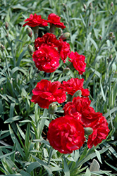 Early Bird™ Radiance Pinks (Dianthus 'Wp08 Mar05') at Make It Green Garden Centre