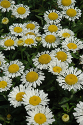 Lacrosse Shasta Daisy (Leucanthemum x superbum 'Lacrosse') at Make It Green Garden Centre