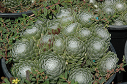 Forest Frost Cobweb Hens And Chicks (Sempervivum arachnoideum 'Forest Frost') at Make It Green Garden Centre