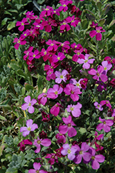 Cascade Red Rock Cress (Aubrieta 'Cascade Red') at Make It Green Garden Centre
