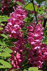Purple Robe Locust (Robinia pseudoacacia 'Purple Robe') at Make It Green Garden Centre