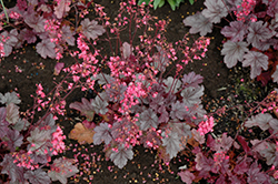 Milan Coral Bells (Heuchera 'Milan') at Make It Green Garden Centre