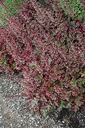 Chocolate Ruffles Coral Bells (Heuchera 'Chocolate Ruffles') at Make It Green Garden Centre
