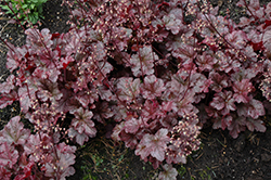 Berry Marmalade Coral Bells (Heuchera 'Berry Marmalade') at Make It Green Garden Centre