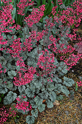 Rave On Coral Bells (Heuchera 'Rave On') at Make It Green Garden Centre