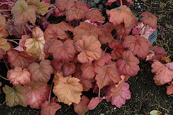 Southern Comfort Coral Bells (Heuchera 'Southern Comfort') at Make It Green Garden Centre