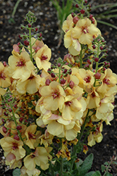 Honey Dijon Mullein (Verbascum 'Honey Dijon') at Make It Green Garden Centre