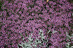 Pink Chintz Creeping Thyme (Thymus praecox 'Pink Chintz') at Make It Green Garden Centre