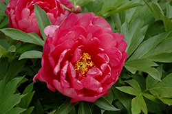 Pink Double Dandy Peony (Paeonia 'Pink Double Dandy') at Make It Green Garden Centre