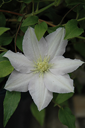 Chelsea Clematis (Clematis 'Evipo100') at Make It Green Garden Centre