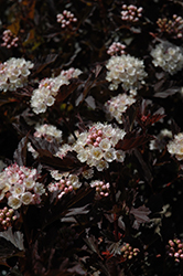 Tiny Wine® Ninebark (Physocarpus opulifolius 'SMPOTW') at Make It Green Garden Centre
