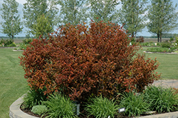 Coppertina® Ninebark (Physocarpus opulifolius 'Mindia') at Make It Green Garden Centre