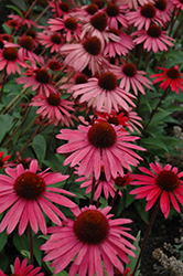Big Sky Solar Flare Coneflower (Echinacea 'Big Sky Solar Flare') at Make It Green Garden Centre