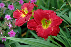 Happy Ever Appster® Red Hot Returns Daylily (Hemerocallis 'Red Hot Returns') at Make It Green Garden Centre