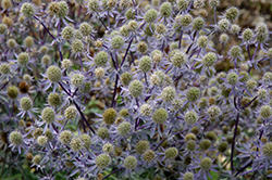 Blue Glitter Sea Holly (Eryngium planum 'Blue Glitter') at Make It Green Garden Centre