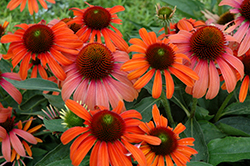 Julia Coneflower (Echinacea 'Julia') at Make It Green Garden Centre