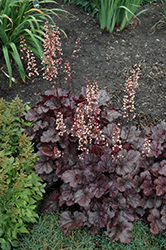 Grape Expectations Coral Bells (Heuchera 'Grape Expectations') at Make It Green Garden Centre