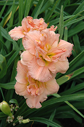 Siloam Double Classic Daylily (Hemerocallis 'Siloam Double Classic') at Make It Green Garden Centre