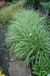 Ice Dance Sedge (Carex morrowii 'Ice Dance') at Make It Green Garden Centre