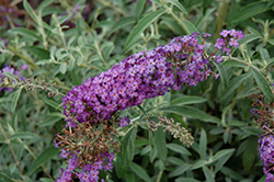 Blue Knight Butterfly Bush (Buddleia 'Blue Knight') at Make It Green Garden Centre