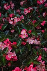 Big® Rose Bronze Leaf Begonia (Begonia 'Big Rose Bronze Leaf') at Make It Green Garden Centre