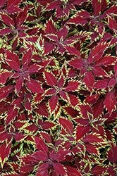 ColorBlaze® Apple Brandy® Coleus (Solenostemon scutellarioides 'Apple Brandy') at Make It Green Garden Centre