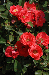 Coral Drift® Rose (Rosa 'Meidrifora') at Make It Green Garden Centre